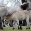 konik paarden Willem III plantage Elst