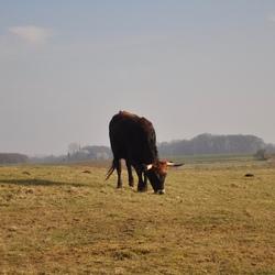 Keent Wilde runderen
