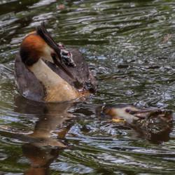 Papa vangt een vis voor moeder met jongen op haar rug.