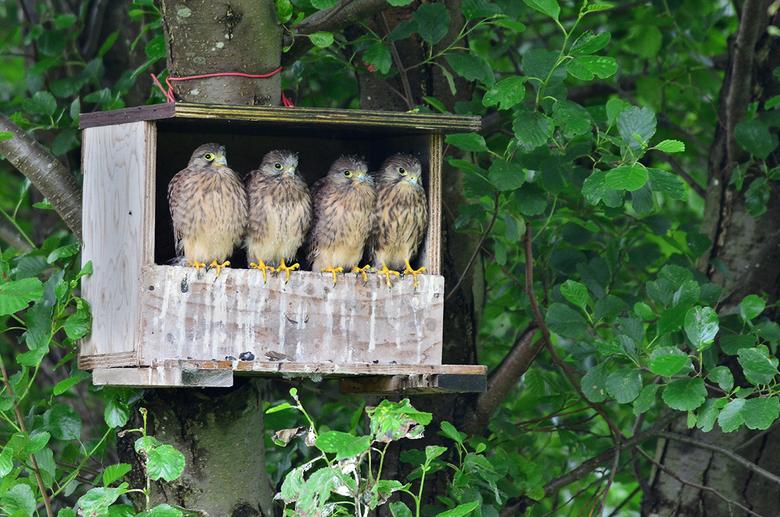 jonge torenvalken - Verleden jaar waren er drie jongen in de nestkast. Dit jaar zijn er vijf jongen uitgevlogen. Bakje wordt te klein voor vijf op een