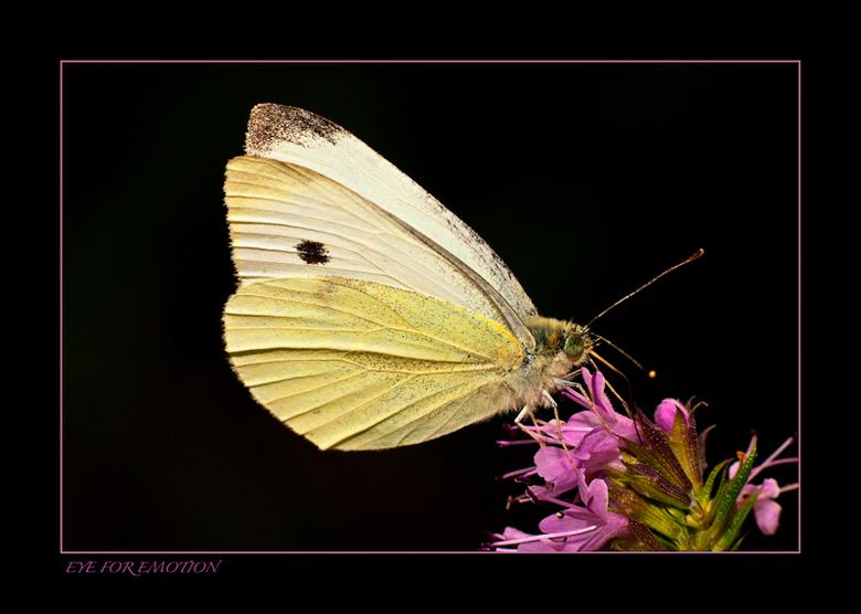 Weer eens een vlinder.. - Van de week weer eens met macro bezig geweest...vond deze wel mooi.