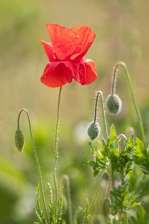 """Klaproos - Bij ons langs een weg staat een veldje met klaprozen... prachtige bloemen.<br /> <br /> Groet  <a href=""""https://piebevandenberg.nl""""> Pieb"""