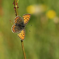 Bruine Vuurvlinder (v)