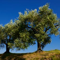 Torbiere di Sebino Iseo olijfbomen 2