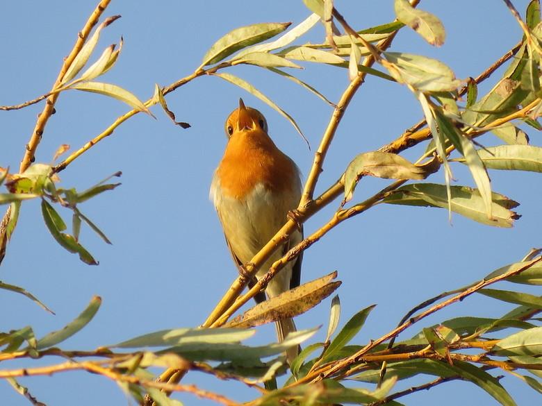 Vrolijk roodborstje - Hoog in de boom, in laatste zonnestralen zat dit beestje vrolijk te zingen.