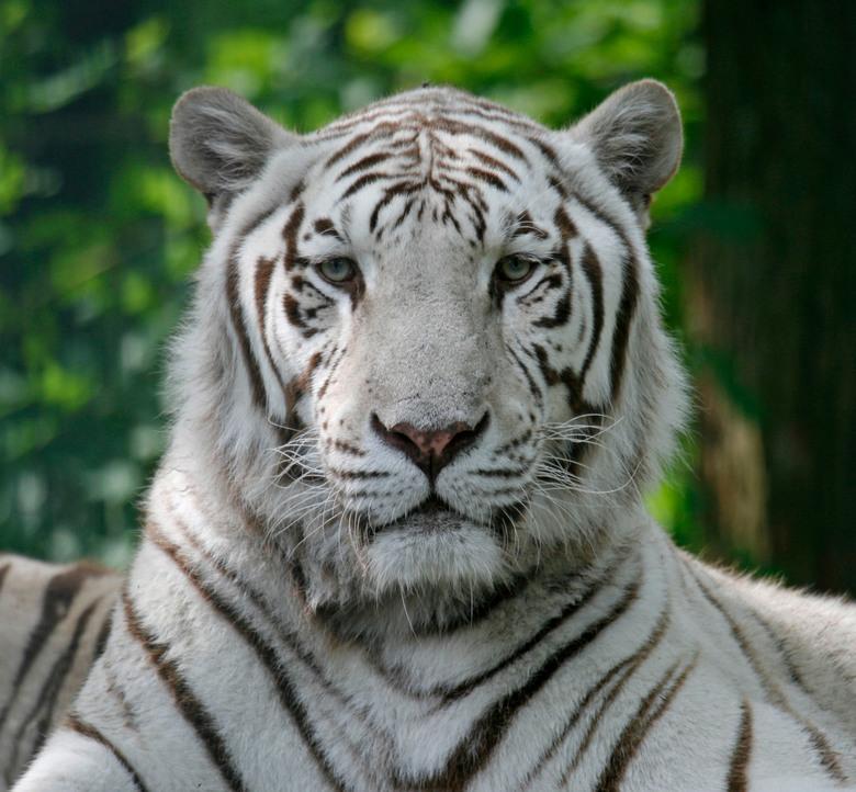 Witte tijger - De witte tijger man uit Ouwehands.