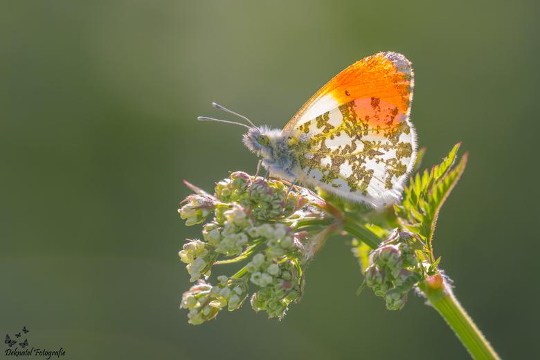 Oranjetipje - Oranjetipje<br /> Anthocharis cardamines<br /> <br /> Oranjetipje met tegenlicht. Om de donkere delen op de vlinder beter over te lat