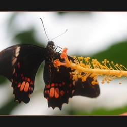 hibiscusstamper met vlinder