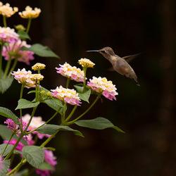Wow een Colibri