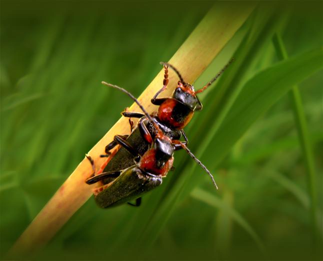 """Bugs Love - Deze 2 &#039;weekschild kevers&#039; hadden elkaar wel gevonden <img  src=""""/images/smileys/wilt.png""""/>"""