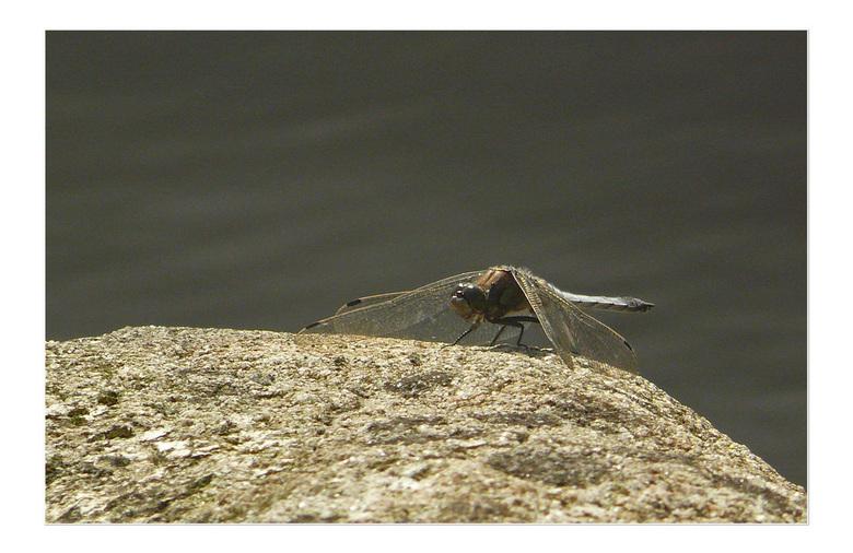 Platbuik op de loer  -  Vandaag even mijn stekkie bezocht om libellen en vlinders  te vinden .Dit is  het resultaat  gr bets