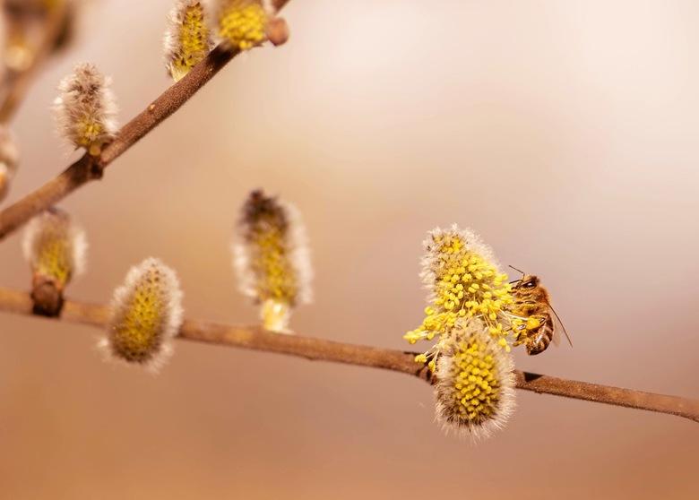 Het eerste bijtje  - Wat een heerlijk gezicht om weer een bijtje te zien. De lente komt steeds dichterbij (let op de woordspeling, haha)