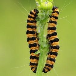 Rupsen st jacob vlinder