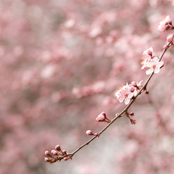 Roze bloesem (1)