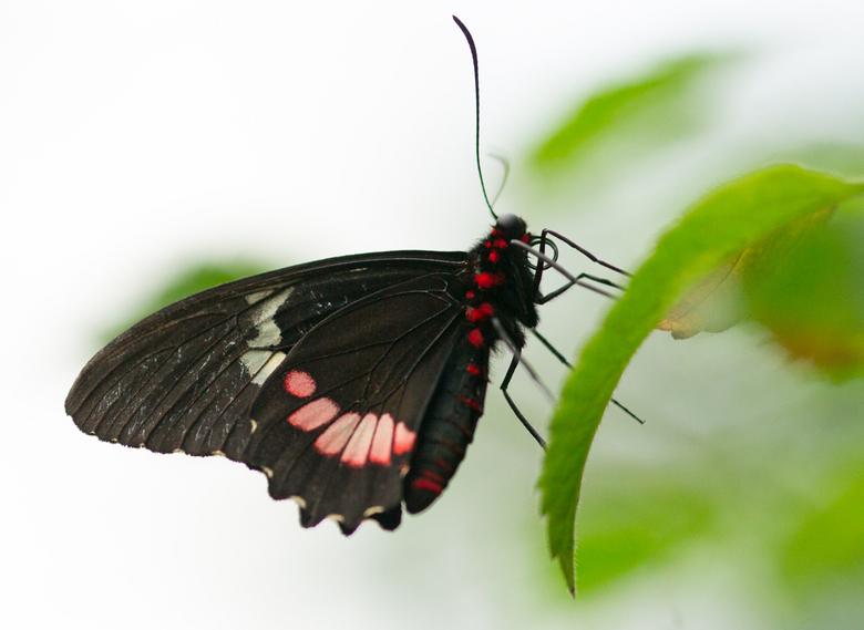 Vlinder II - Dank voor jullie feedback op mijn vorige vlinder. Bij deze foto heb ik wel ruim gekaderd. Dit past ook meer bij waar ik van hou. <br />