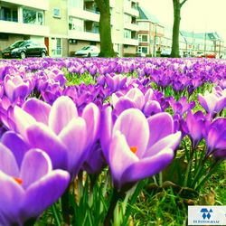 2015-april-lente-crocussenveld-paars