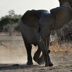 Elephant's mock charge