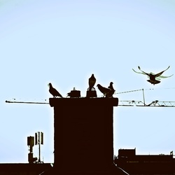 All the pigeons on the roof ...