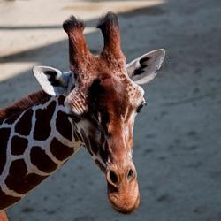 giraf 1