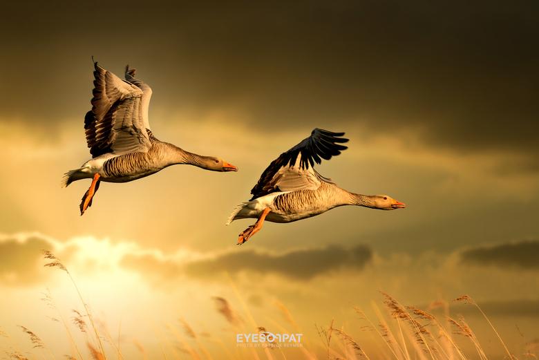 G A N Z E N - Het is nauwelijks voorstelbaar dat de grauwe gans nog geen veertig jaar geleden een zeer zeldzame broedvogel was, die ooit zelfs werd ui