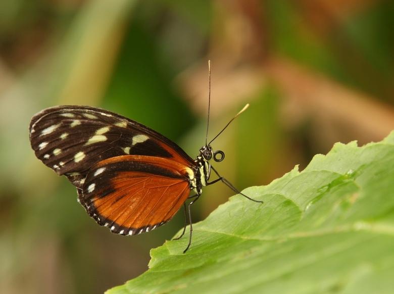 Passiebloemvlinder... - Vandaag naar Blijdorp geweest en deze gespot in Amazonica....<br /> Groetjes en bedankt voor de leuke en fijne reactie&#039;s