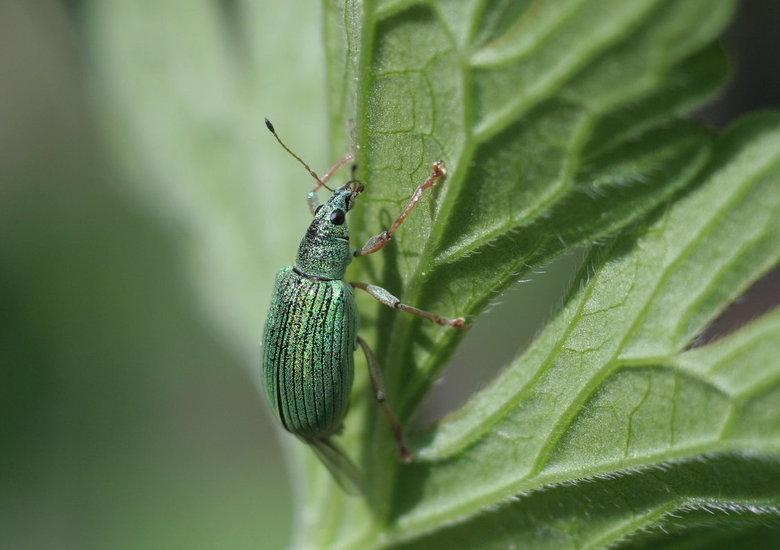 Phyllobius a.