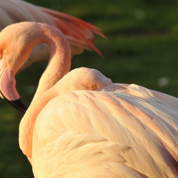flamingo,s