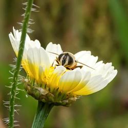 Zweefvlieg op bloem
