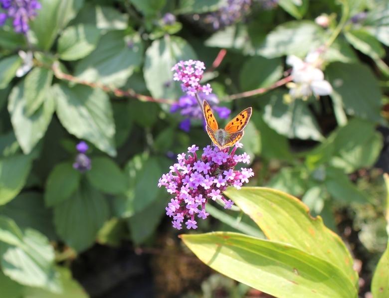 007 - kopie - vlinder in achtertuin