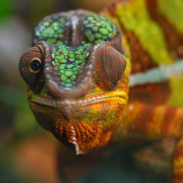 met één oog - Met één oog hield de panterkameleon mij in de gaten. Met het andere oog speurde hij naar insecten.<br /> <br /> Kameleons hebben een b