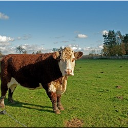 Mannetjes koe
