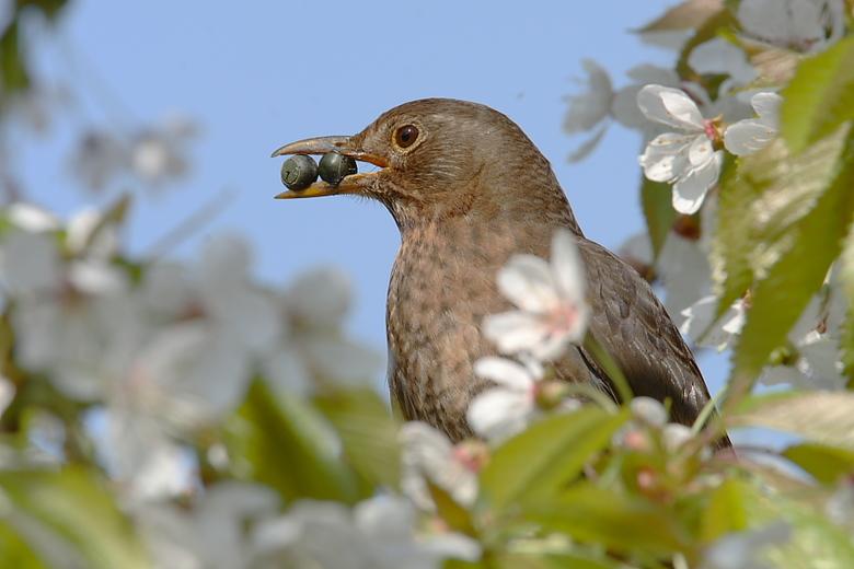 Merel met lekker hapje - Ik ben even overgestapt op een ander onderwerp, namelijk vogels. Totaal nieuw voor mij, maar ook érg leuk om te doen, en een