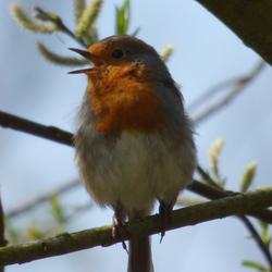Robin, ofwel Roodborstje