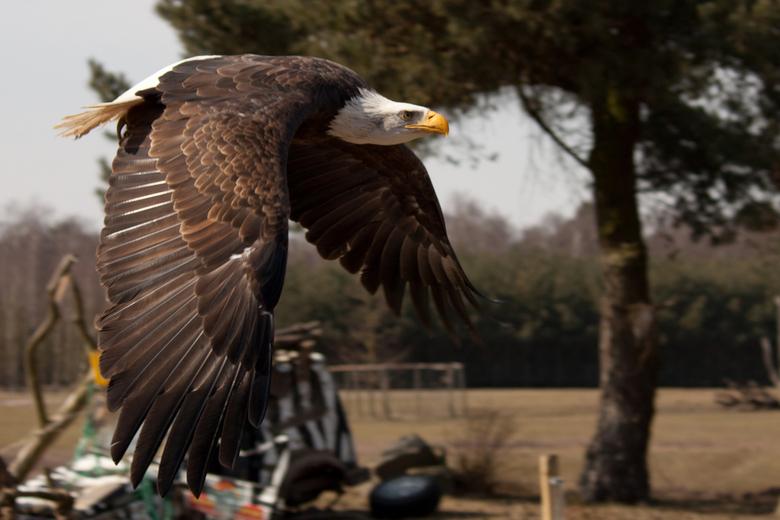 Amerikaanse Arend - De Amerikaanse Arend in volle vlucht...<br /> <br /> ... en komt laag over..<br /> <br /> <br /> In safaripark de Beekse Berg
