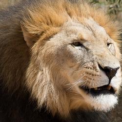 Dreigende leeuw