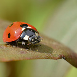 Coccinellidae (lhb)