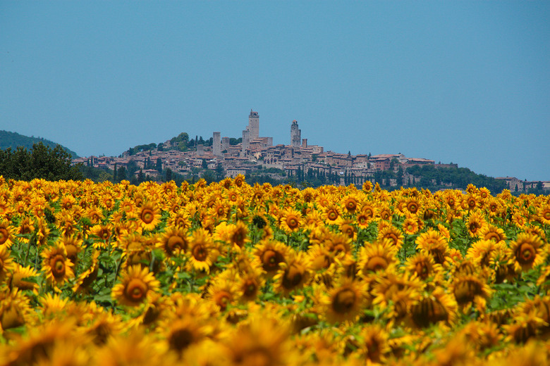 Zonnebloemen voor San Gimignano - Naast druiven ook zonnebloemen in Toscane. Foto op korte afstand van San Gimignano