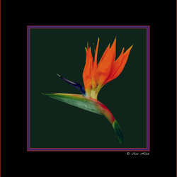 paradijsvogelbloem