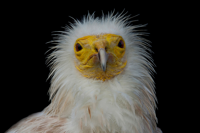 Egyptian Vulture  - ( Neophron Percnopterus )