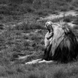 Leeuw Zwart Wit