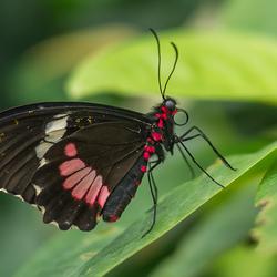 Vlinder Pink Cattleheart (Parides Iphidamas)