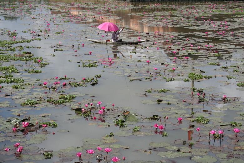 Roze lotus - Vijver met lotusbloemen in de verborgen stad Hue (Vietnam).