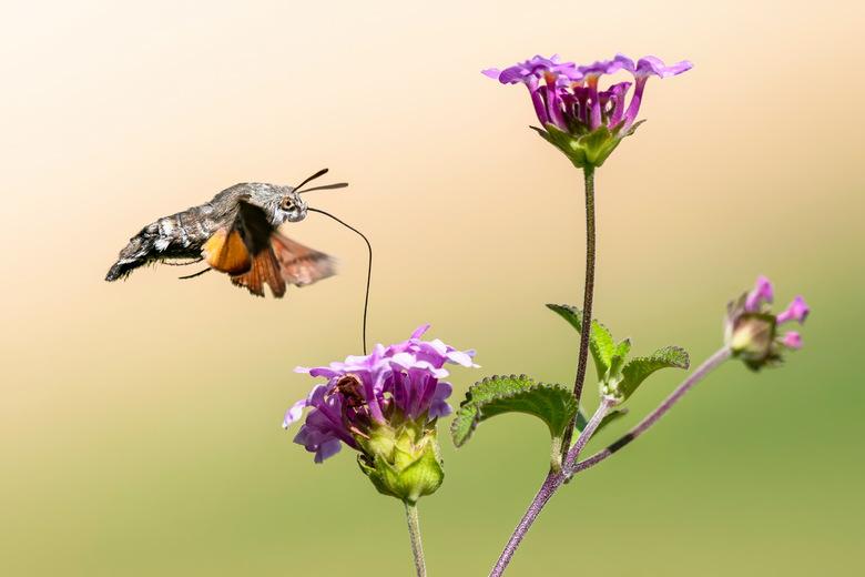Kolibrievlinder - Bedankt voor de leuke en bemoedigende reacties en stemmen op mijn vorige foto`s.<br /> <br /> Fijne dag allemaal!<br /> <br /> G