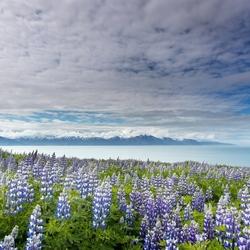 Bloeiende lupines op IJsland