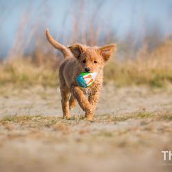 Toller pup Maddy op het strand