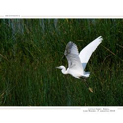 Little Egret, Kenia