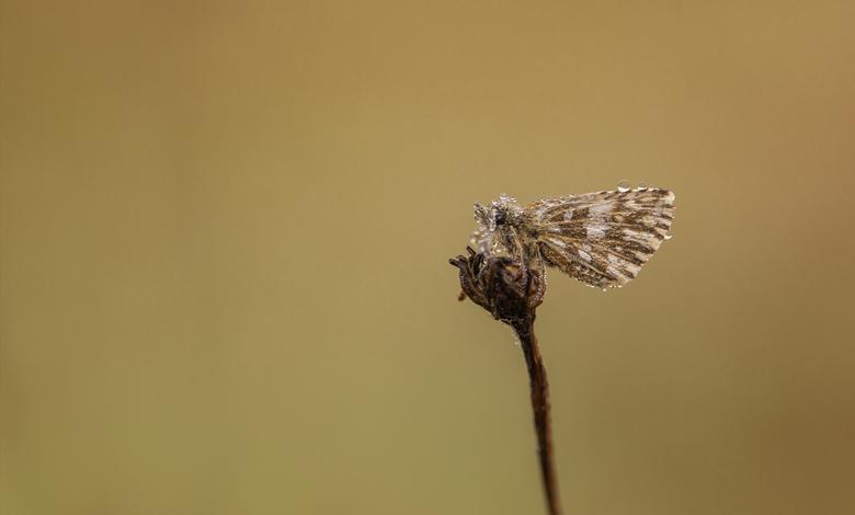 Hi, it's me.... - Vroeg in de ochtend spotte ik deze aardbeivlinder, bedekt met een laagje dauw waardoor hij bijna onherkenbaar was.  Foto uit de hand