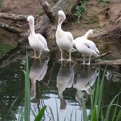 Pelikanen in de Beekse Bergen