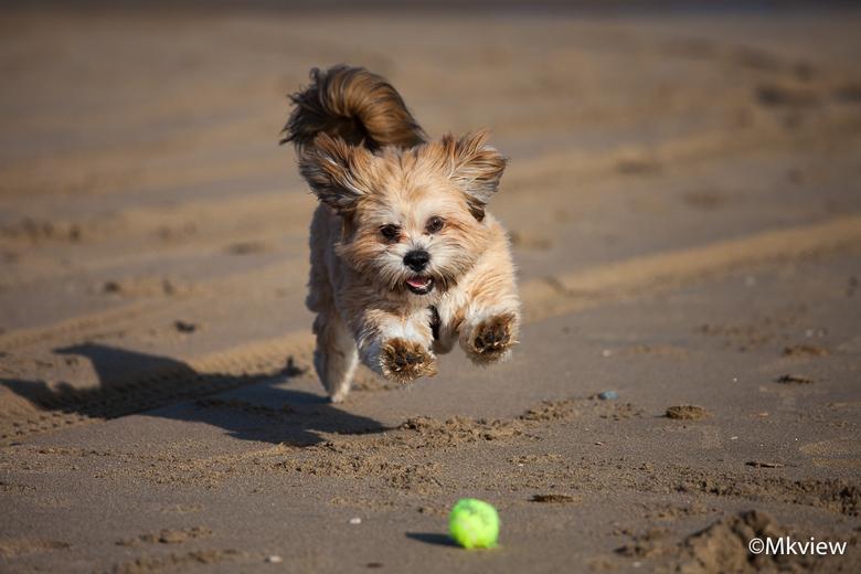 Play ball - Lekker uitwaaien op het strand met het zonnige weer vandaag. Meteen een mooie gelegenheid om twee Lhasa Apso's vast te leggen. Hier e