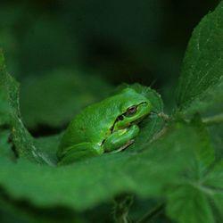 Groen boomkikkertje in het groen